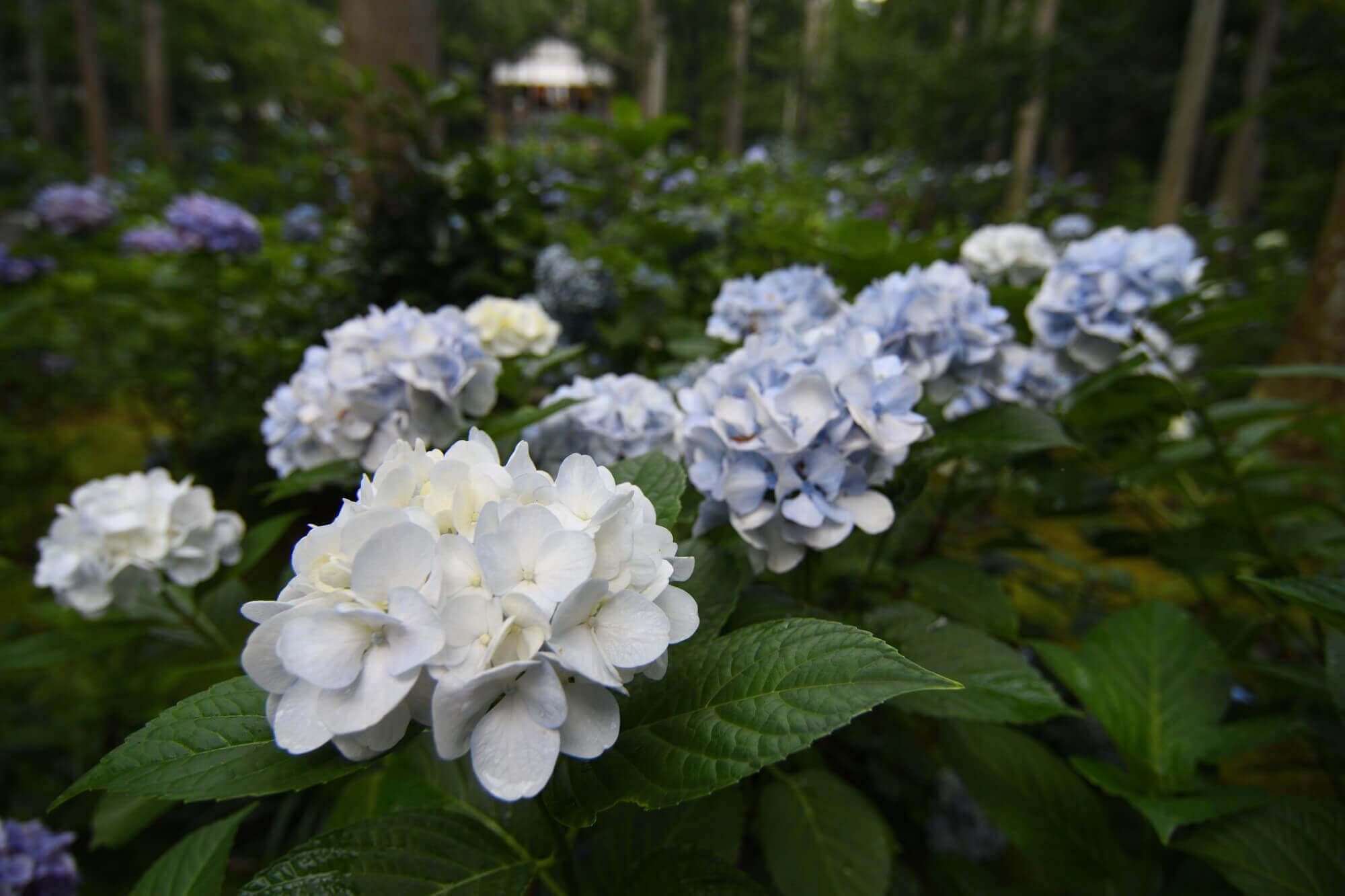 京都大原三千院の紫陽花
