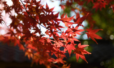 三宅八幡・蓮華寺の紅葉を見頃から落葉まで追いかけてみた