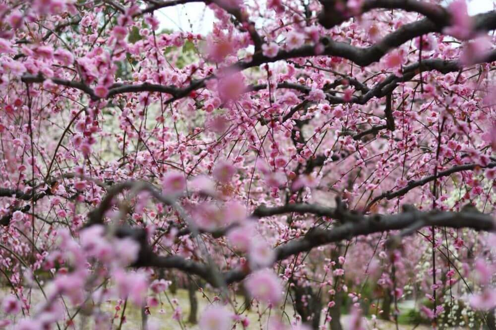城南宮の満開の梅