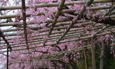 半木の道のしだれ桜