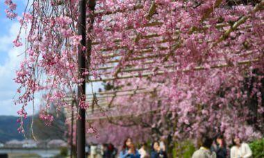 半木(なからぎ)の道のしだれ桜