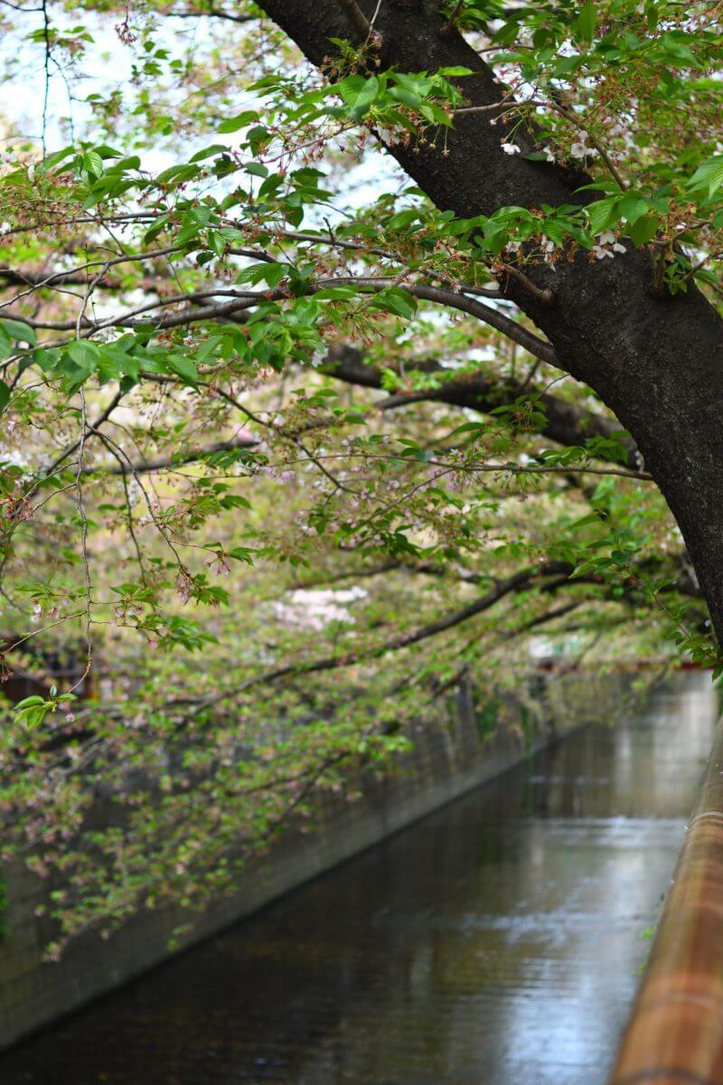 ほぼ葉桜な目黒川の桜