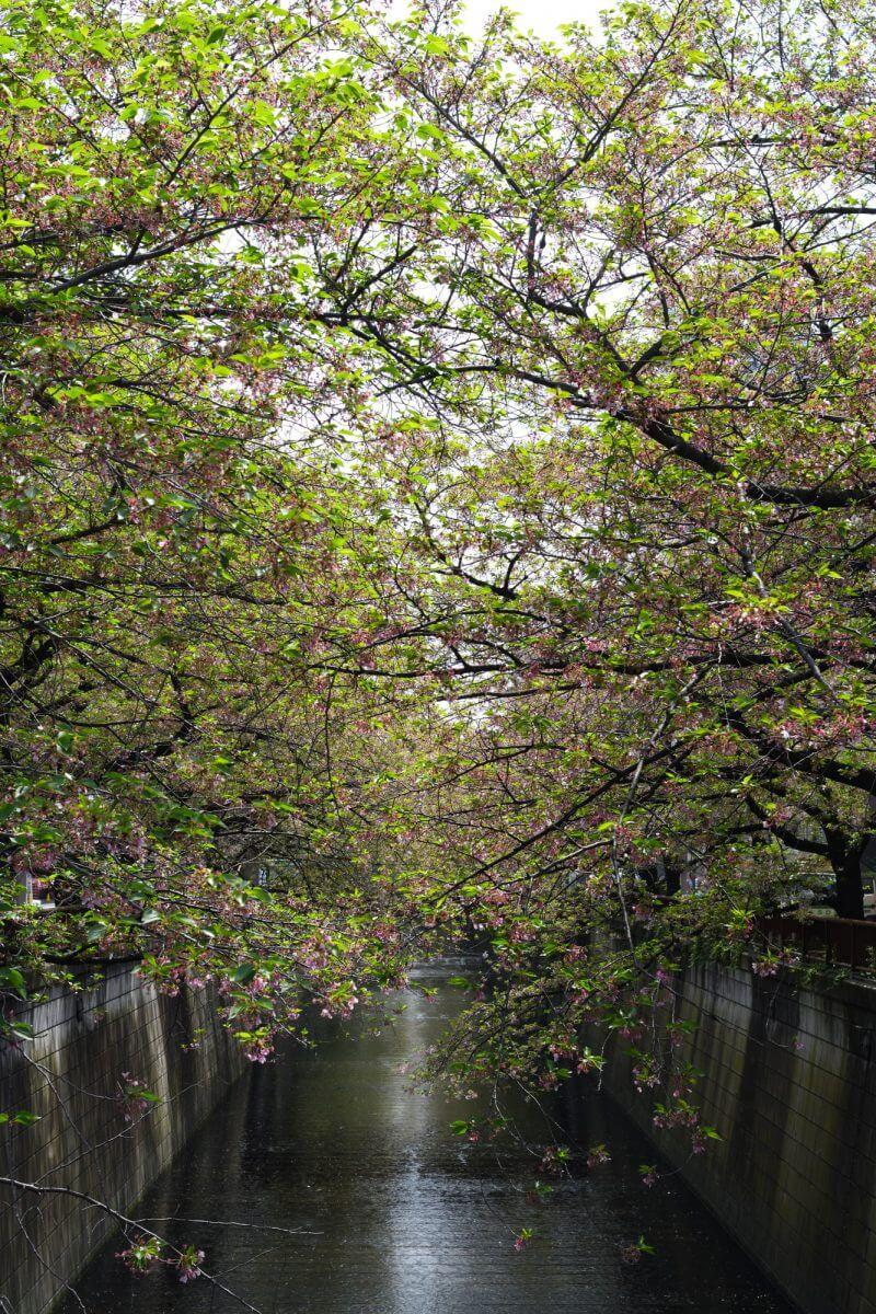 散りかけの目黒川桜並木