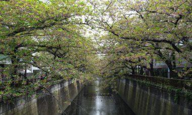 目黒川の葉桜並木