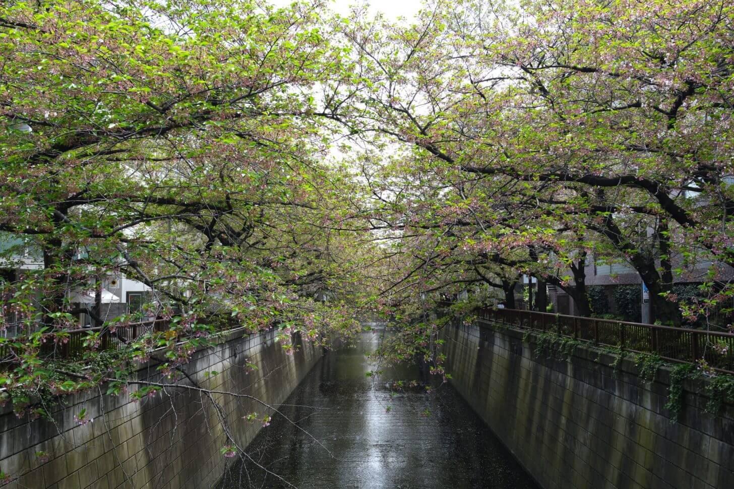 目黒川の葉桜