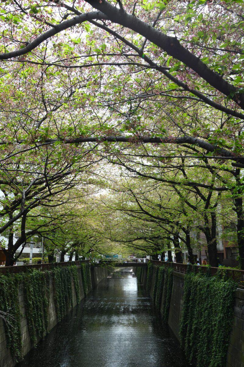 別所橋からの葉桜