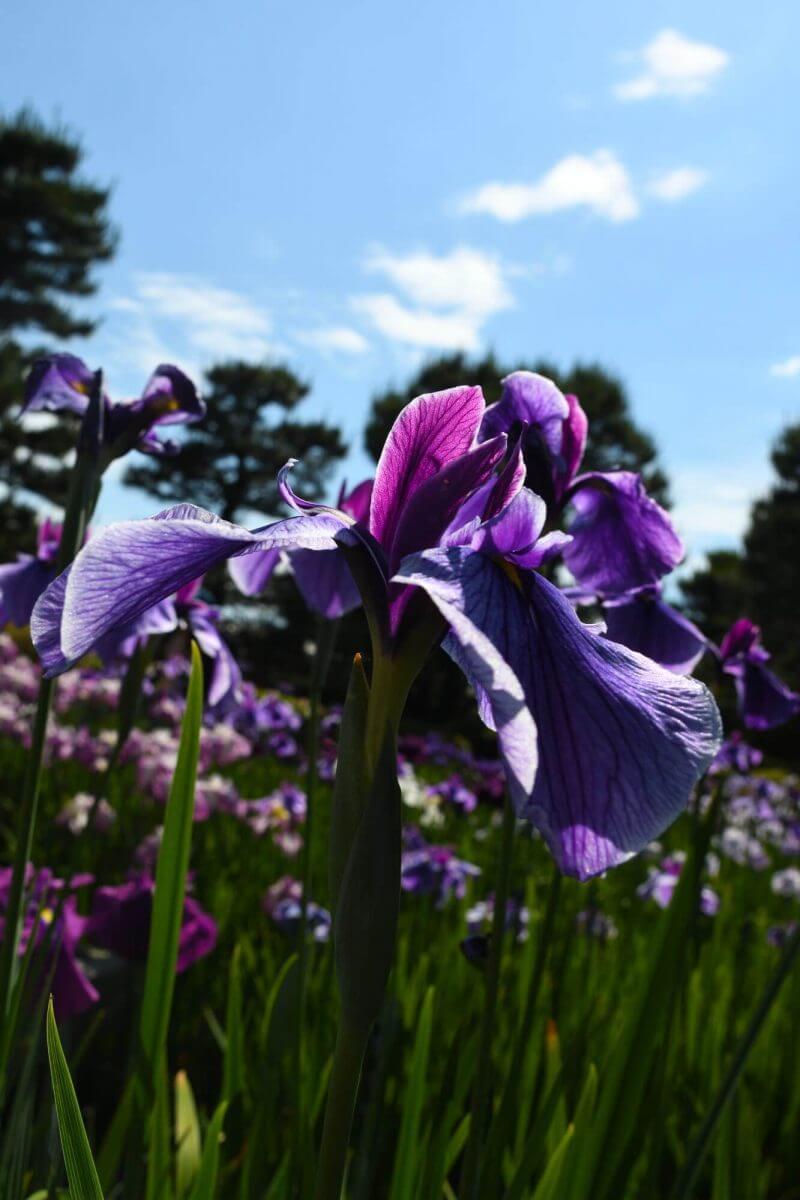 京都府立植物園のはなしょうぶ