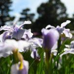 京都府立植物園のはなしょうぶをNikon D500で撮る