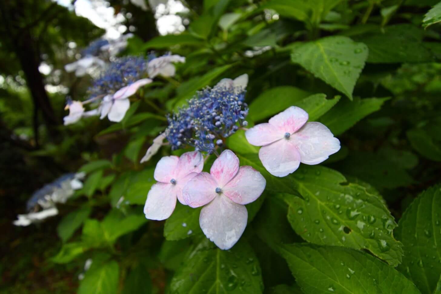 京都府立植物園のあじさいで試し撮り