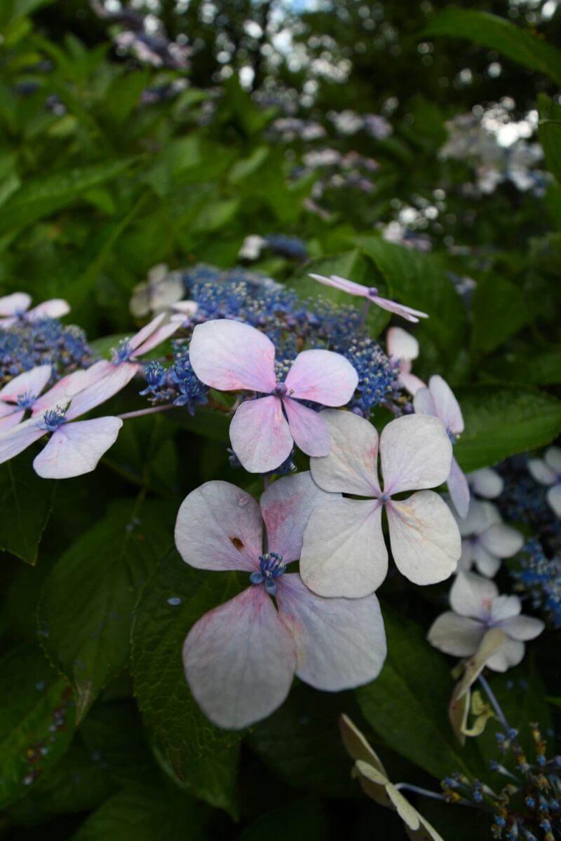 京都府立植物園のあじさい