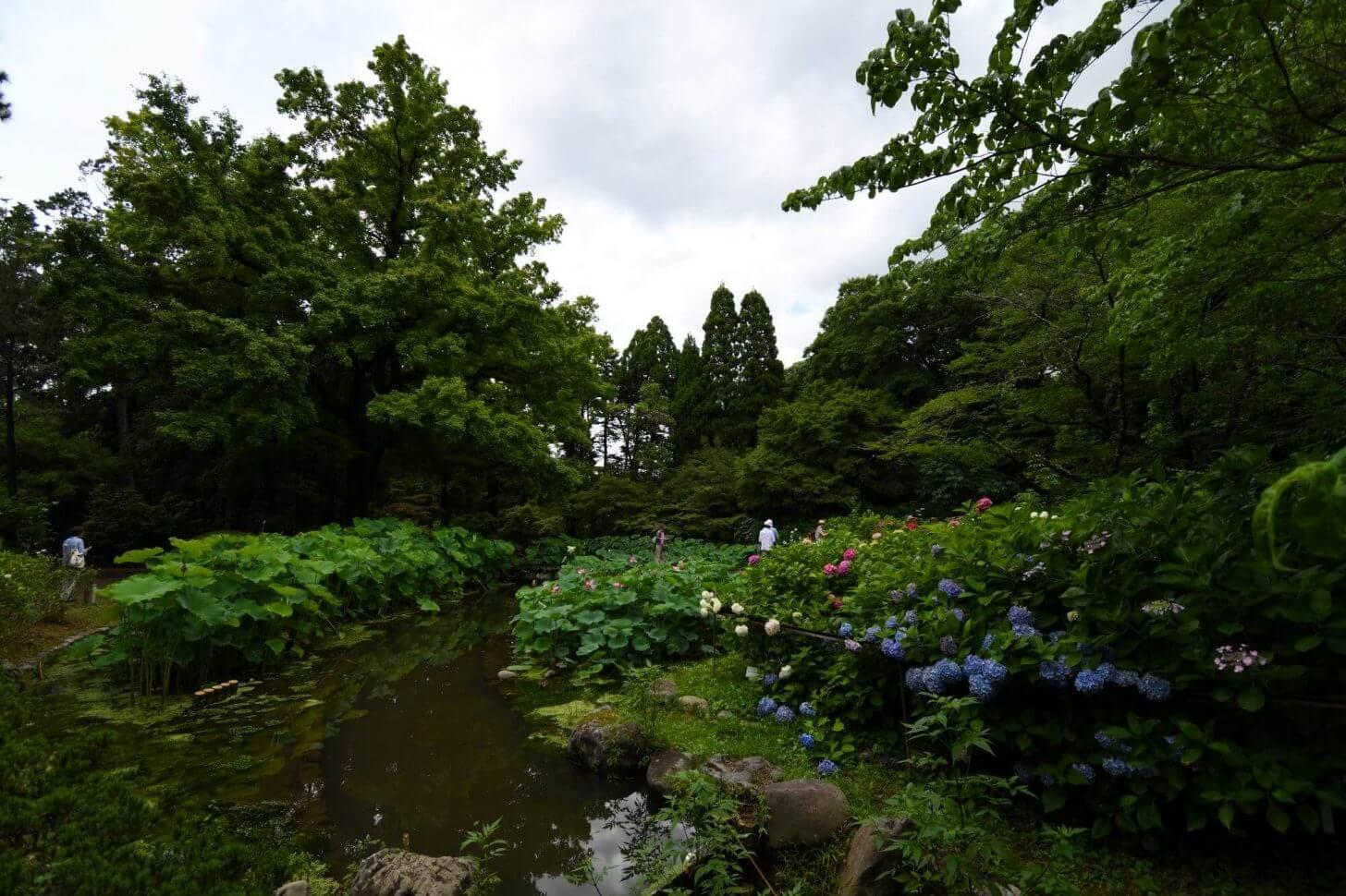 京都府立植物園のあじさい園
