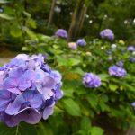 1年ぶりの再訪!京都大原・三千院の紫陽花(2017.7.14訪問)【Nikon D500で撮る】