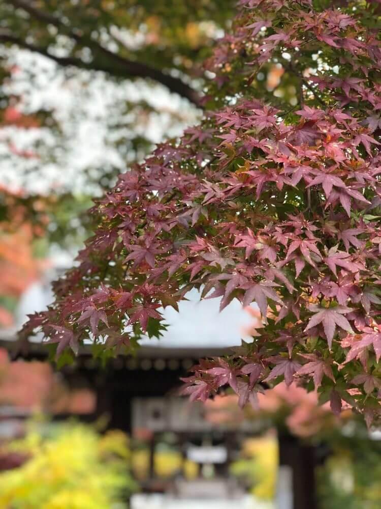 iPhoneXポートレートモードで撮る梨木神社の紅葉