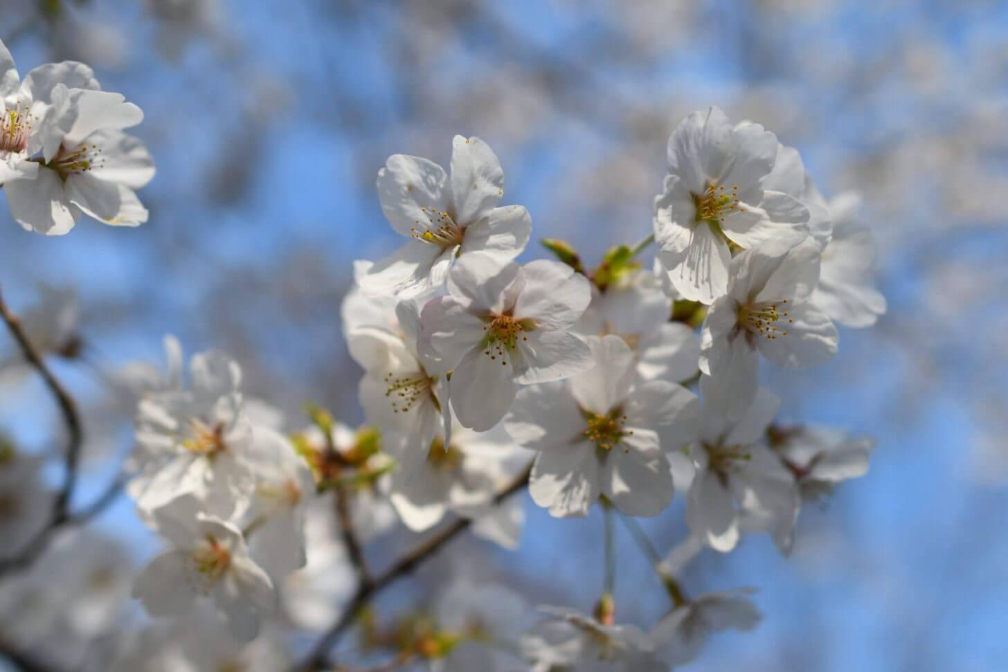 松ヶ崎疎水の桜