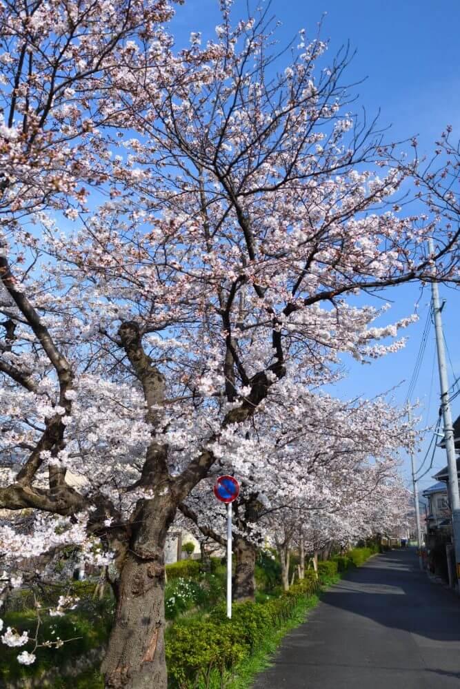 松ヶ崎疎水の満開の桜!
