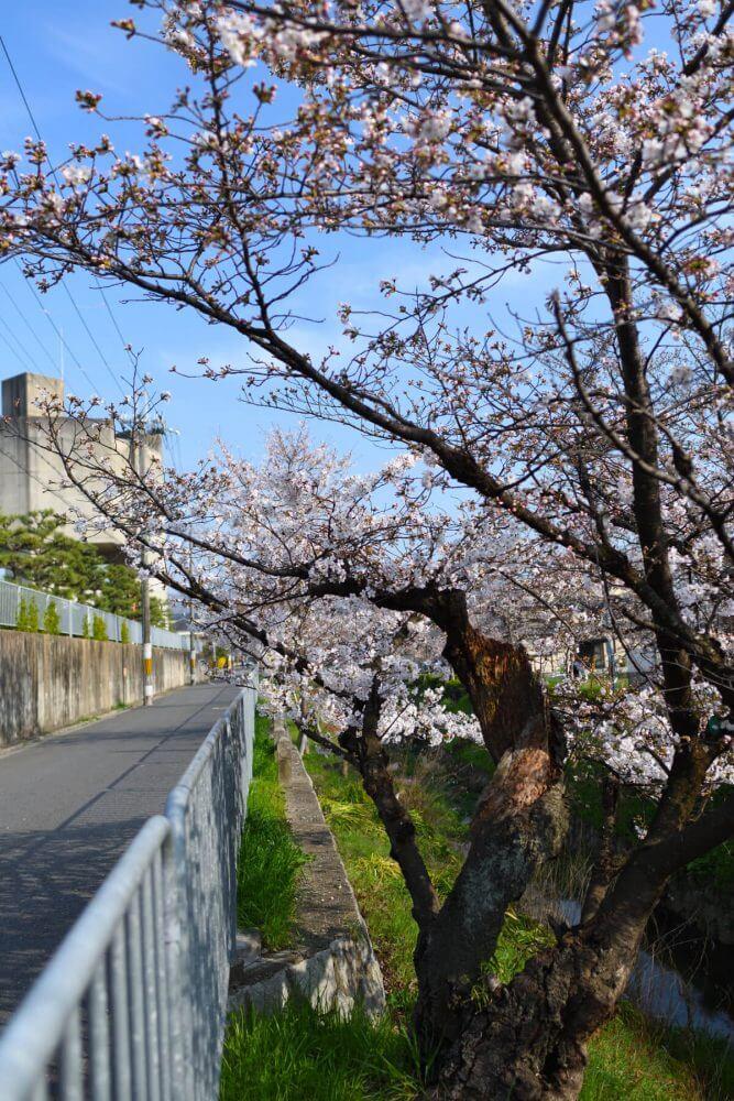 松ヶ崎疎水のとある桜の木