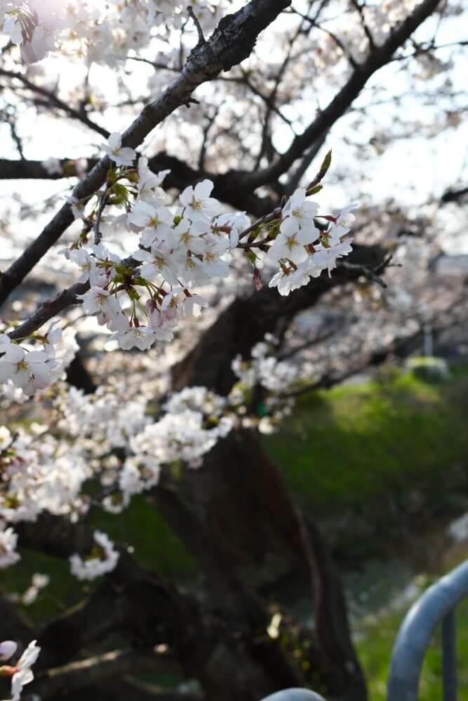 美しい松ヶ崎疎水の桜