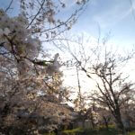 隠れた桜の名所・松ヶ崎疎水分線の桜並木を撮る