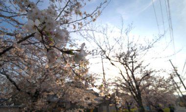 松ヶ崎疎水の桜並木