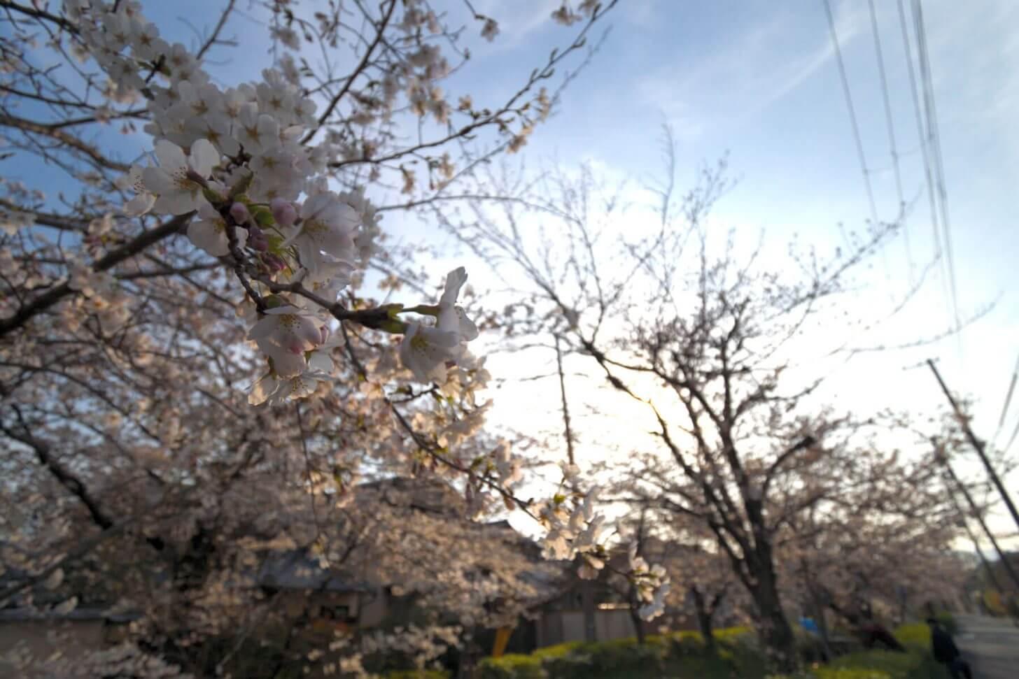 逆光で写す松ヶ崎疎水の桜