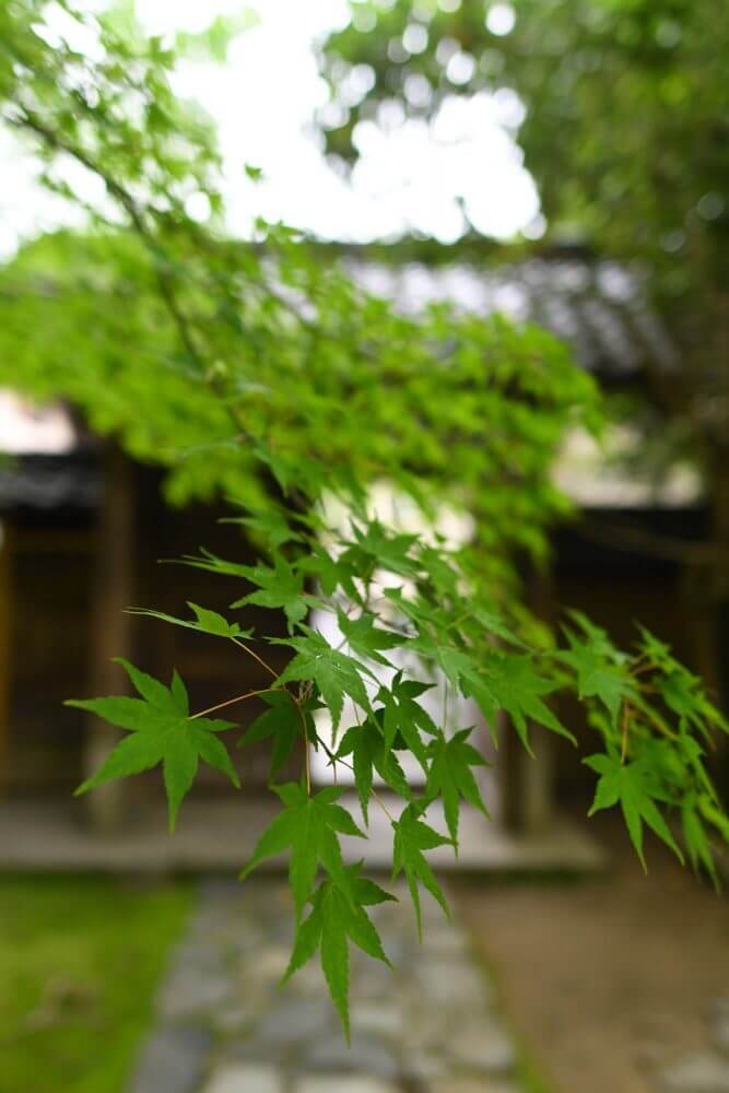 蓮華寺庭園の青もみじ
