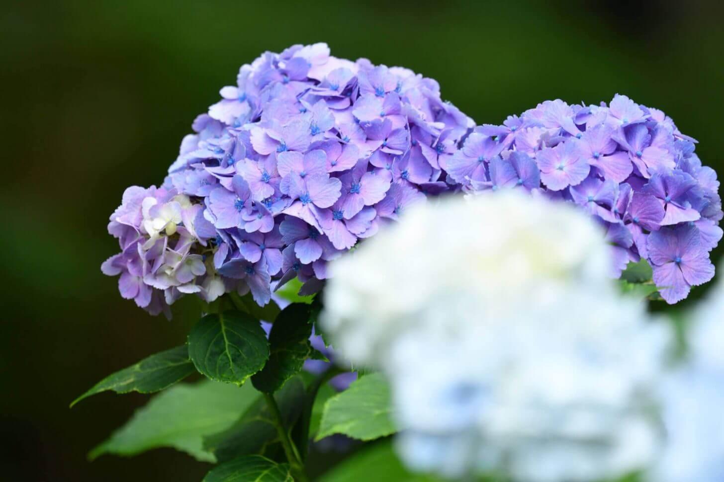 三千院の紫の紫陽花(前ボケ入り)