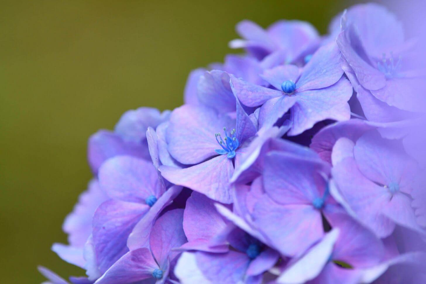 花が咲いている三千院の紫陽花