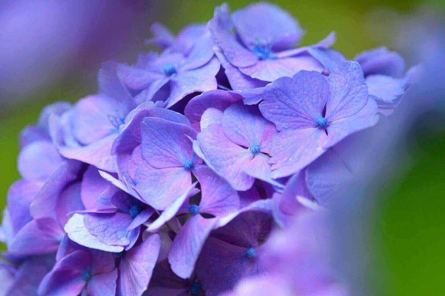 三千院の紫の紫陽花のアップ