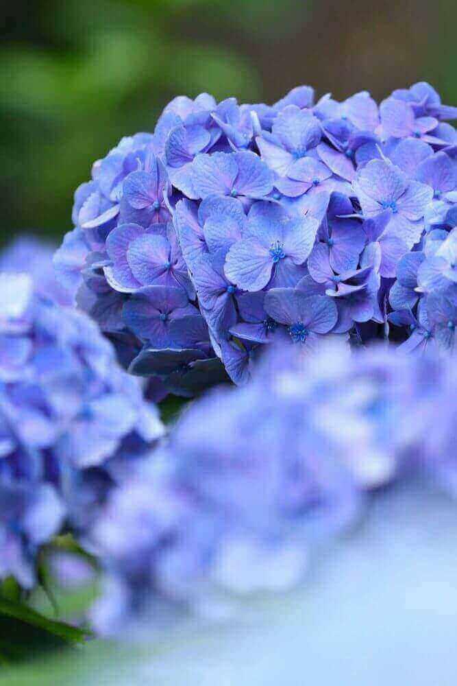 三千院の青色のあじさい