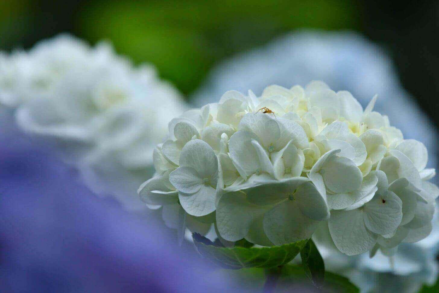 三千院の白い紫陽花の上に小さな虫が