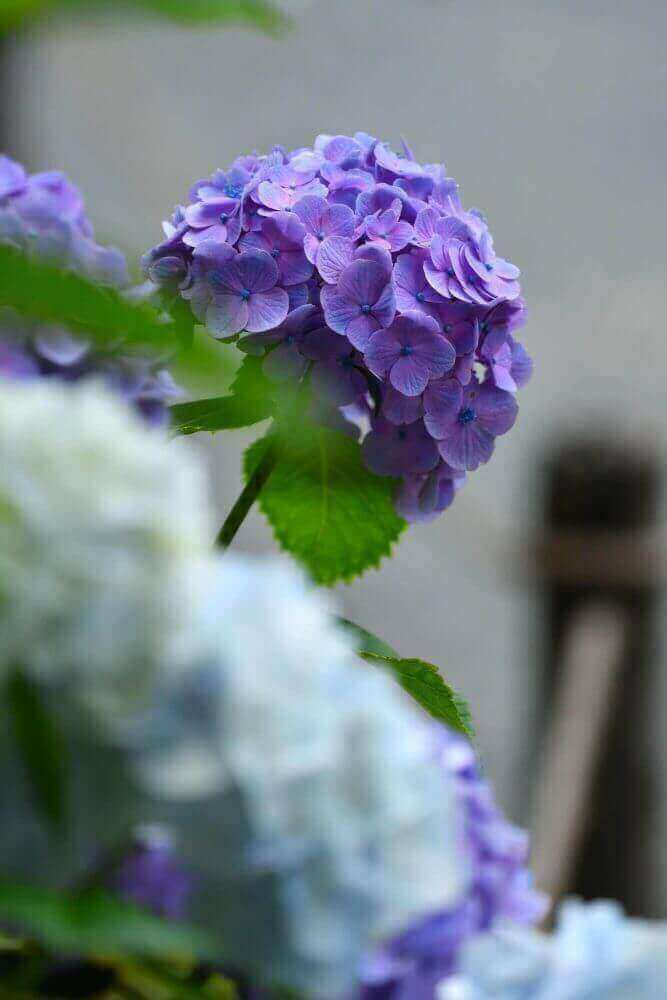 三千院の紫の紫陽花