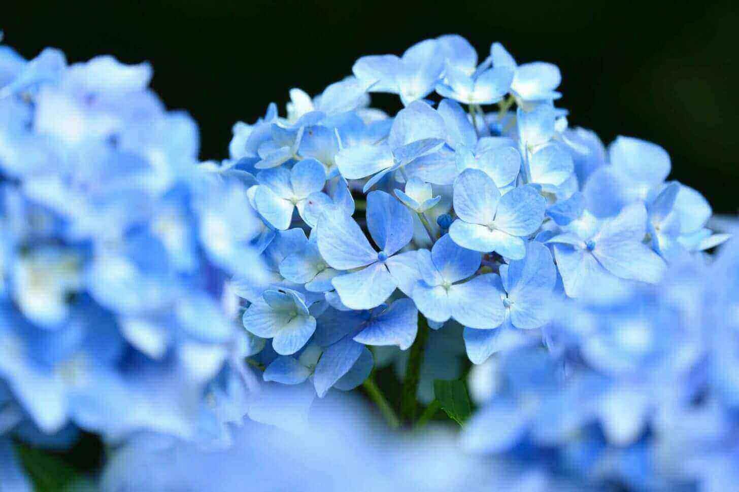 三千院の青い紫陽花(前ボケ)