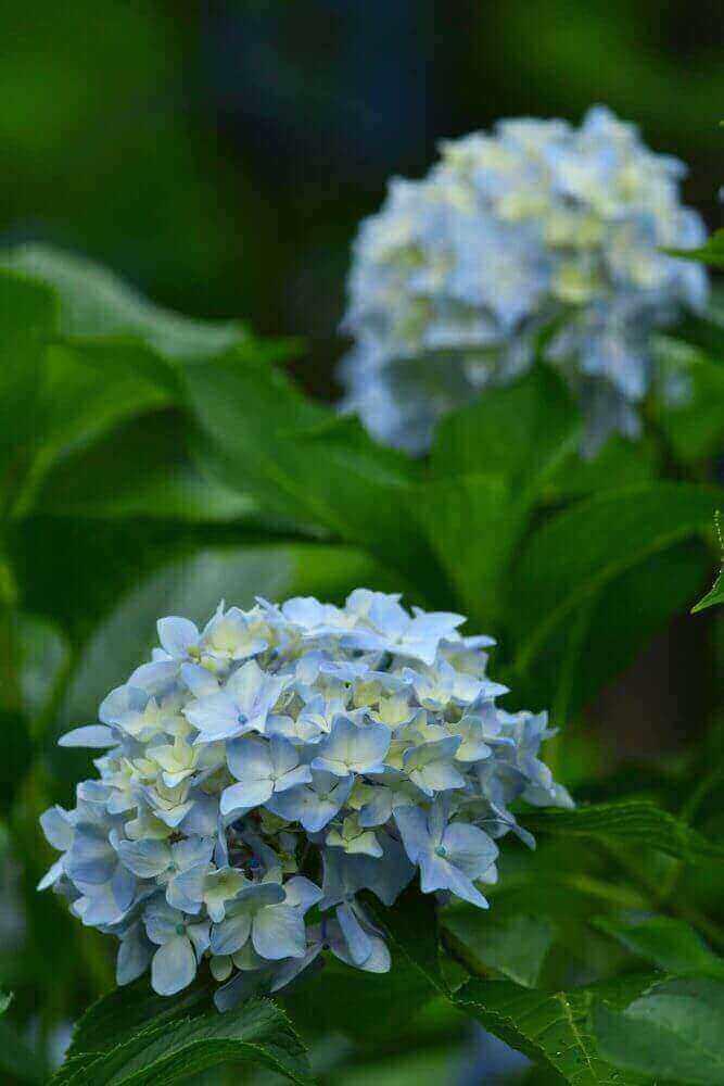 三千院の白色の紫陽花(後ろボケあり)