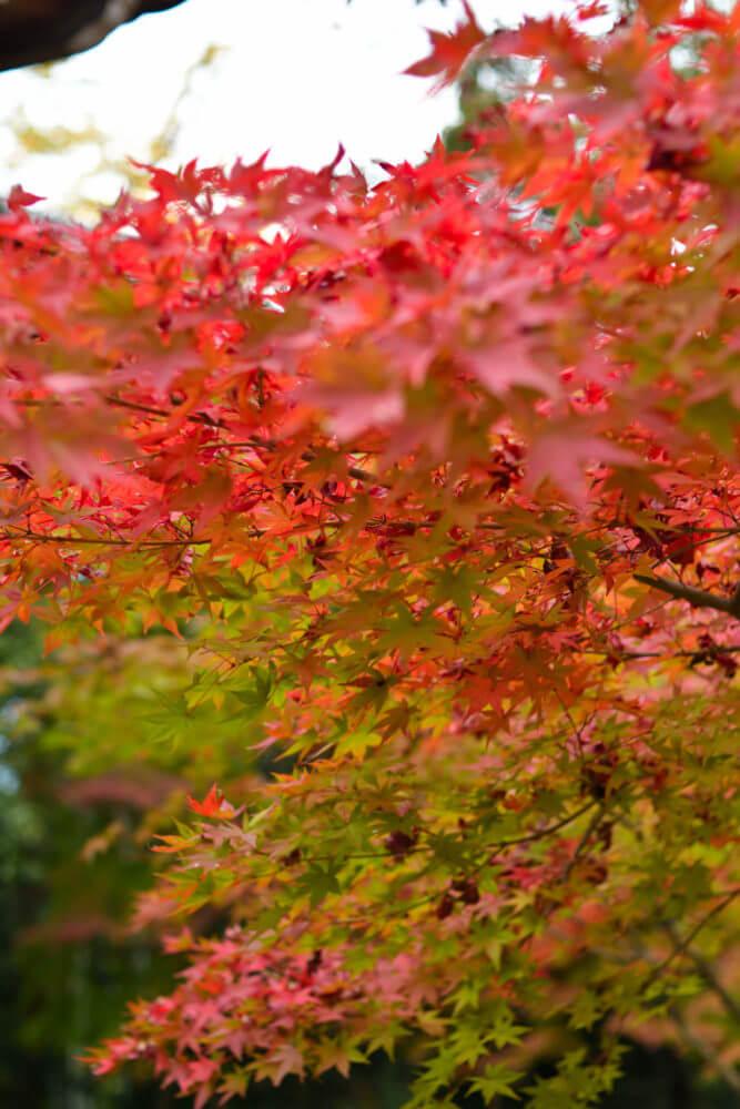赤山禅院 地蔵尊まわりの紅葉