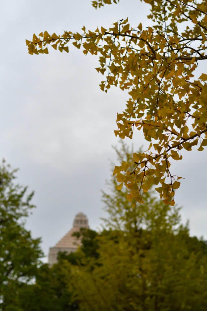 紅葉したイチョウと国会議事堂
