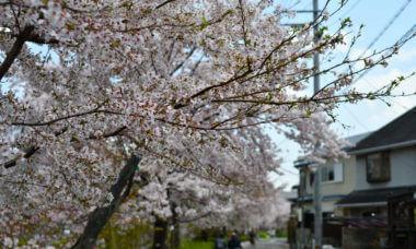 2019年春の松ヶ崎疏水の桜