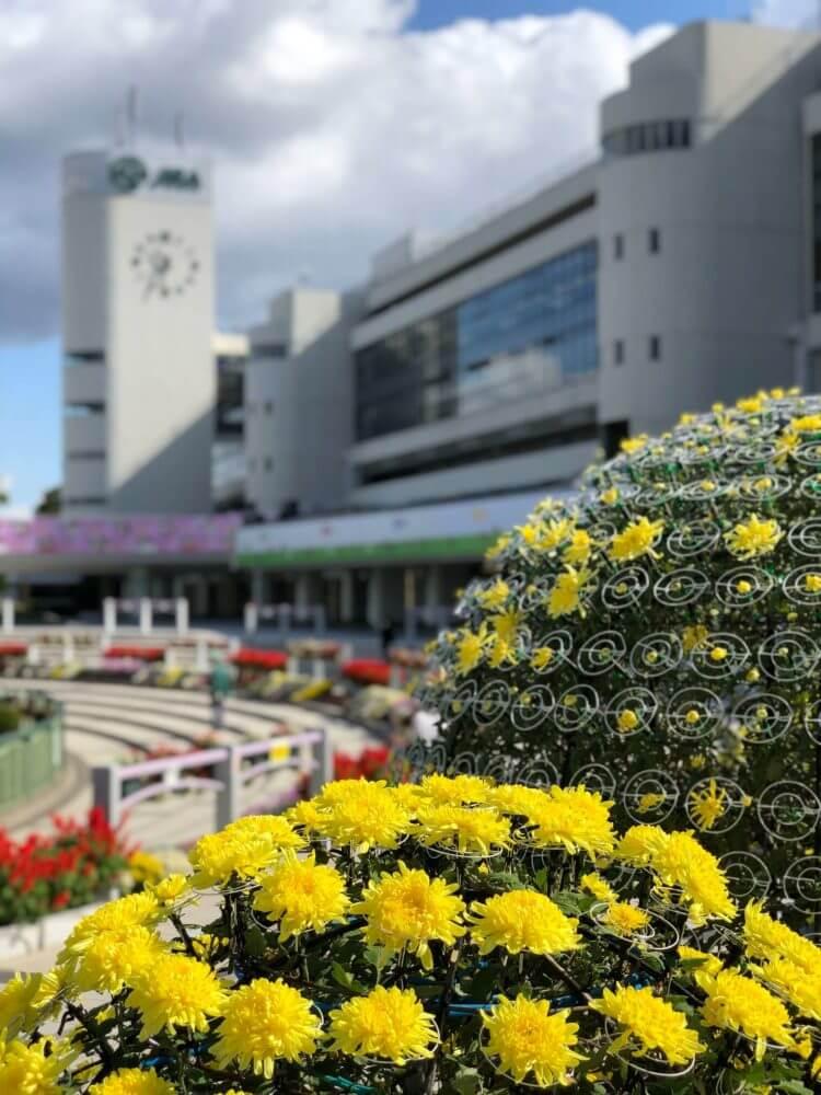 京都競馬場 グランドスワンを背景に菊の花が咲く