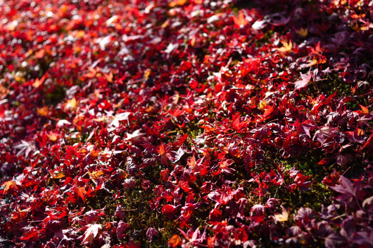 岩倉具視幽棲旧宅の散り紅葉