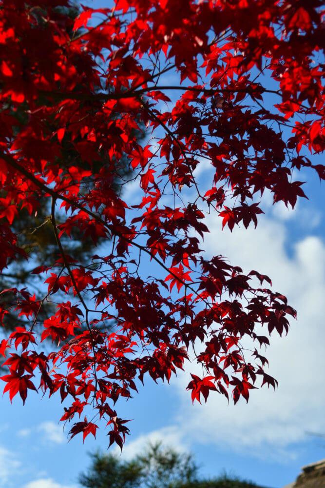 岩倉具視幽棲旧宅の紅葉